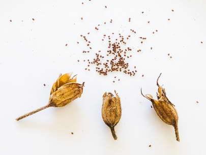 Семена душистого табака фото