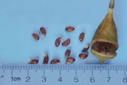 Семена джефферсонии сомнительной фото