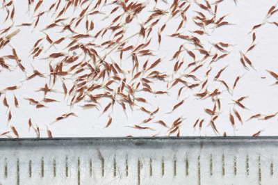 Семена эсхинантуса фото
