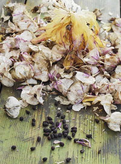 Семена эукомис фото