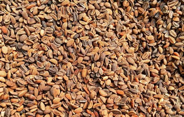 Семена фацелии фото