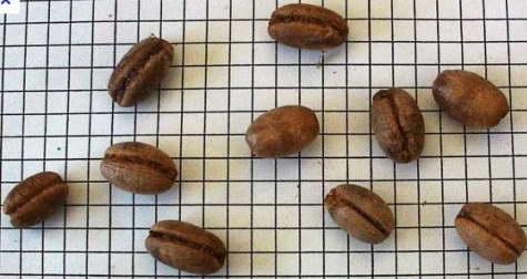 Семена финика канарского фото