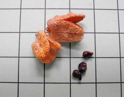 Семена фрезии фото