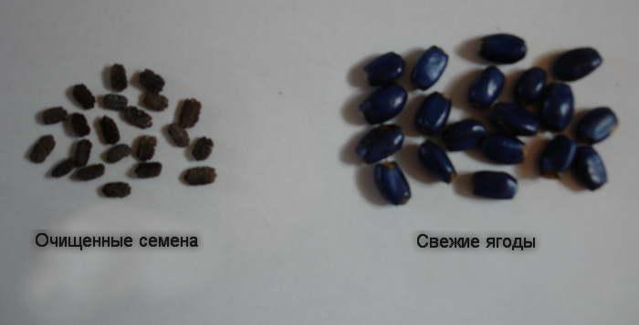 Семена геликонии фото
