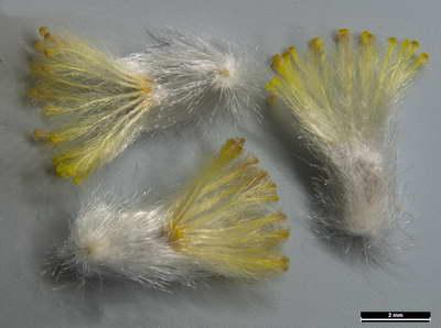 Семена гелиптерума розеум фото