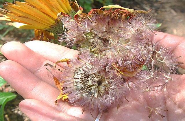 Семена герберы фото