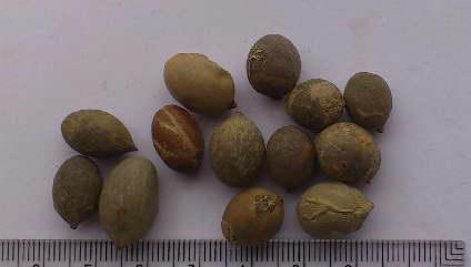 Семена гиофорбы фото