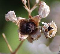 Семена гипсофилы фото Как собрать семена
