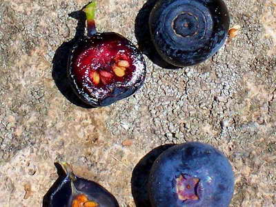 Семена голубики фото