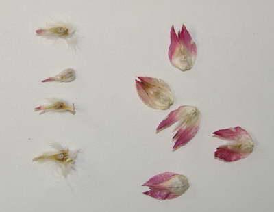 Семена гомфрены фото