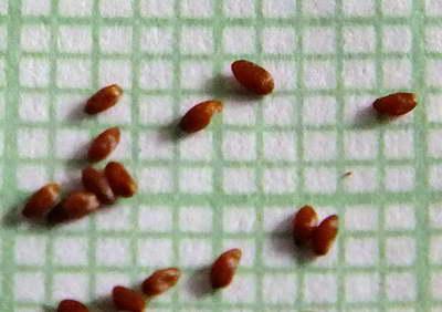 Семена горечавки фото