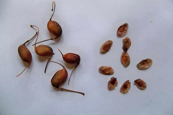 Семена гревиллеи фото