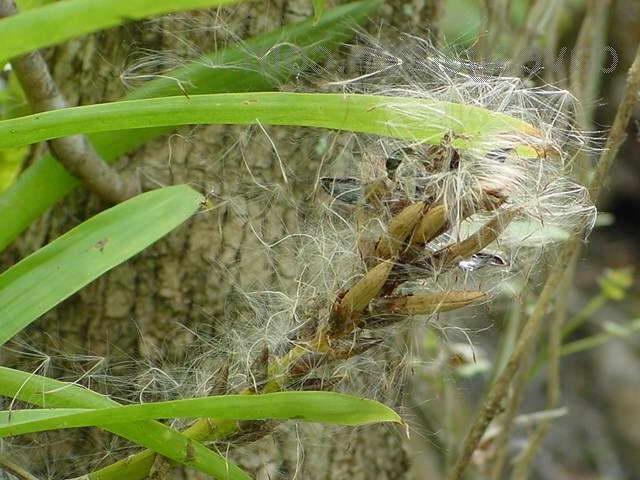Семена гузмании фото