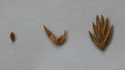 Семена хасматиума широколистного фото