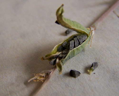 Семена хавортии фото