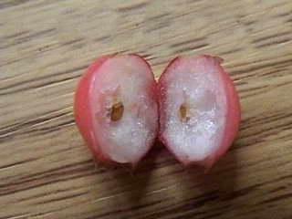 Семена и плод брусники фото