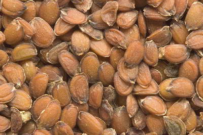 Семена ибериса фото