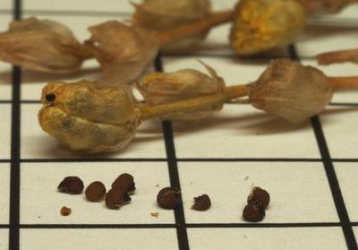 Семена иксии