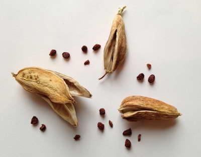 Семена иридодиктиума фото