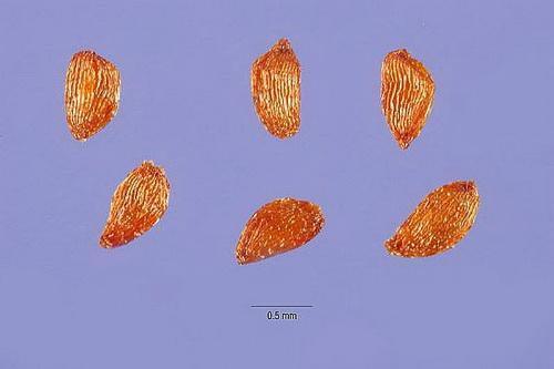 Семена кальмии