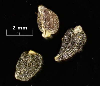 Семена калохортуса фото