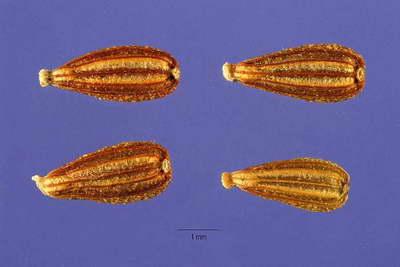 Семена кентрантуса фото