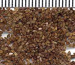 Семена кларкии изящной фото