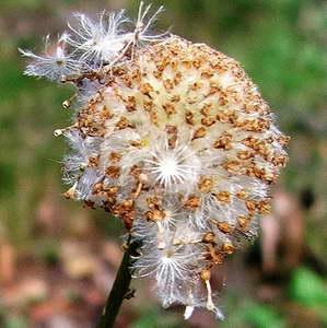 Семена краспедии фото