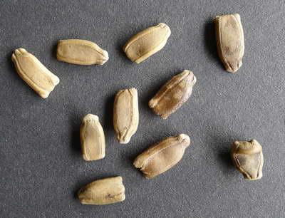 Семена лагенарии бутылочной тыквы фото