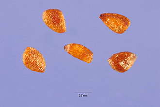 Семена леукотоэ фото