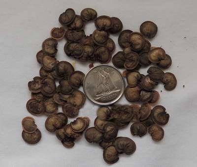 Семена лунарии фото