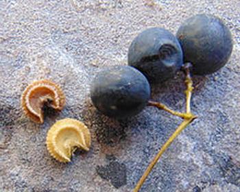 Семена луносемянника