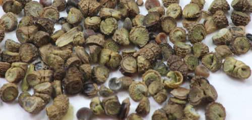 Семена мальвы фото