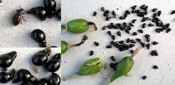Семена нарцисса фото
