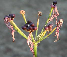 Семена нерине фото