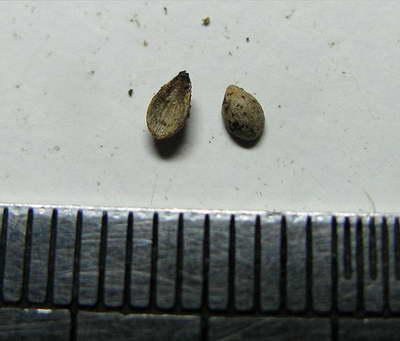 Семена нертеры фото