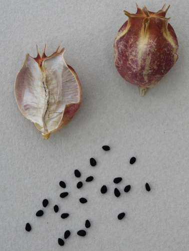 Семена нигеллы Дамаской фото