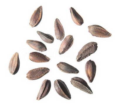 Семена остеоспермума фото