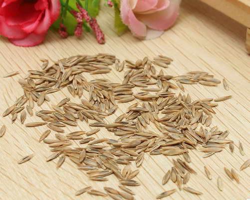 Семена овсяницы фото Как и когда сеять овсяницу