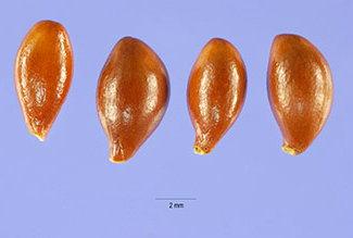 Семена пахизандры