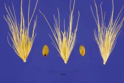 Семена пеннисетума перистощетинника фото