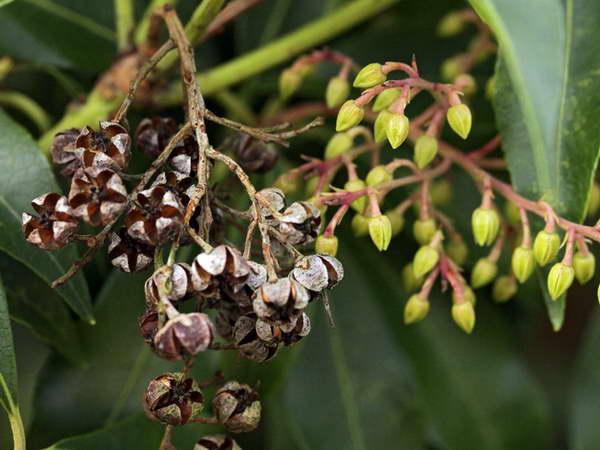 Семена пиериса фото