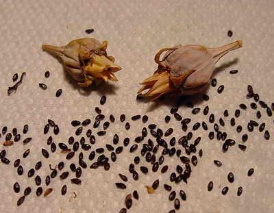 Семена платикодона фото