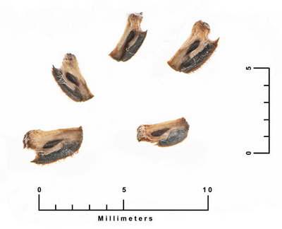 Семена ратибиды фото