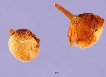 Семена стефанандры фото
