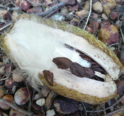 Семена стефанотиса флорибунда фото