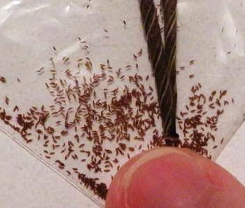 Семена стрептокарпуса фото