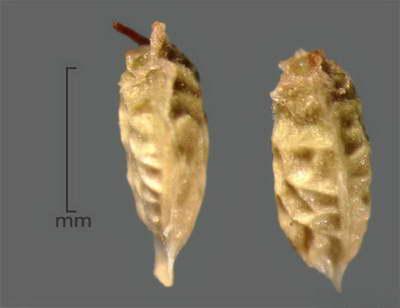 Семена тибетской малины фото