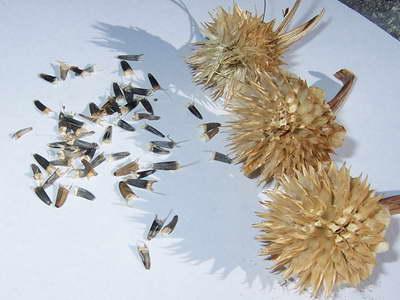 Семена титонии мексиканского подсолнуха фото