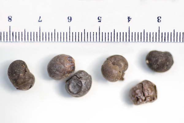 Семена трахикарпуса фото